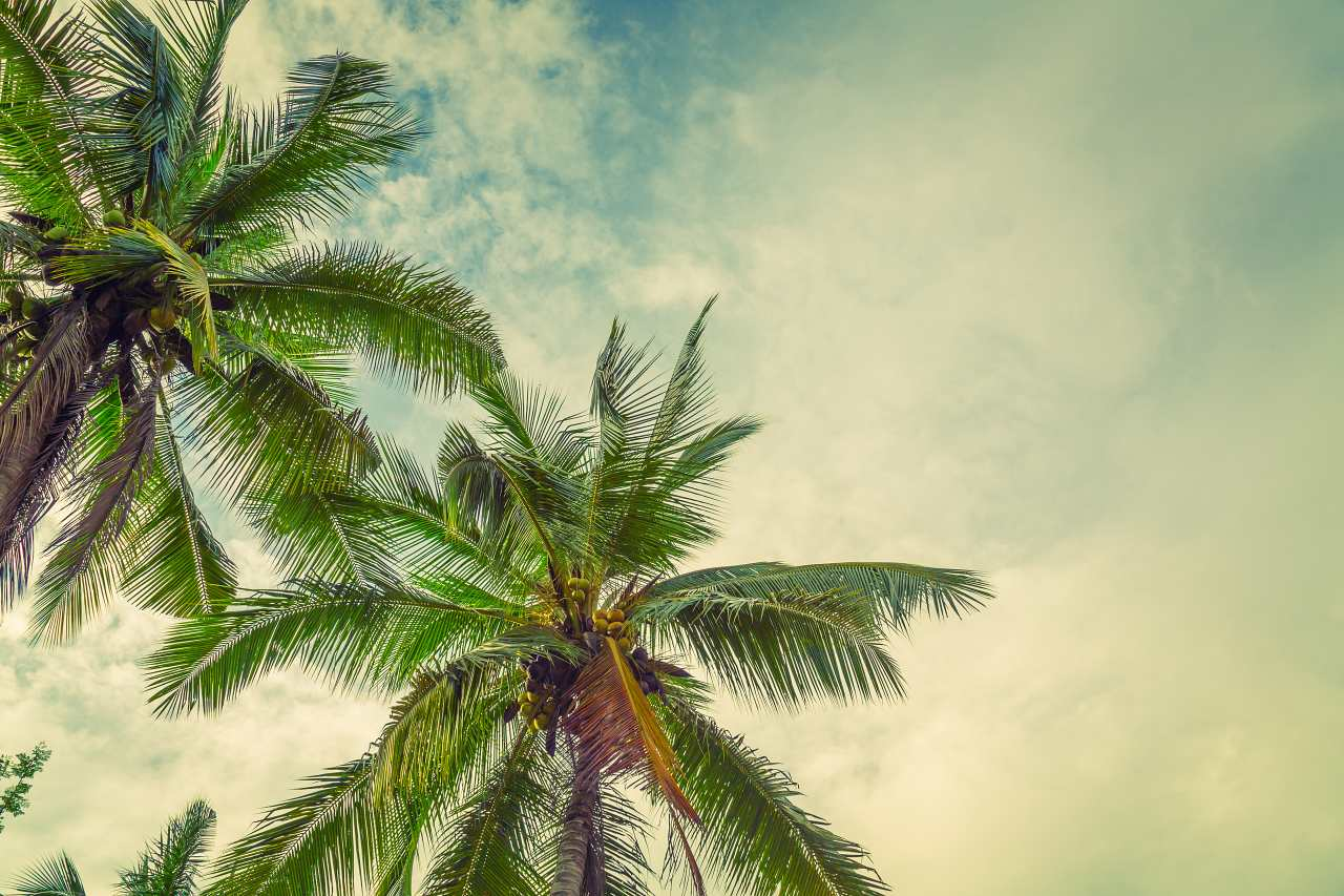 1280 Coconut palm trees shutterstock 304506686